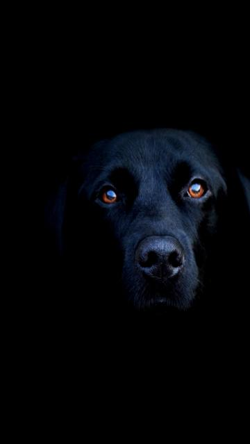 Download HD blacklab iPhone Wallpapers and Backgrounds
