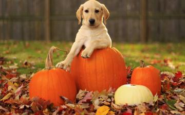 wallpaper Cute Puppy Fall Thanksgiving hd wallpaper background