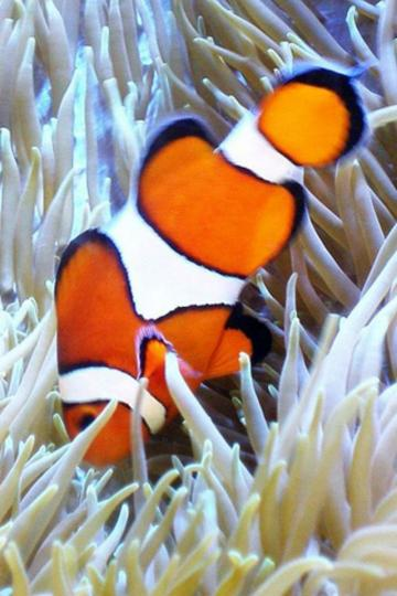 Clown Fish iPhone HD Wallpaper iPhone HD Wallpaper download iPhone