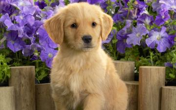 Yellow Labrador Puppy Wallpapers HD Wallpapers
