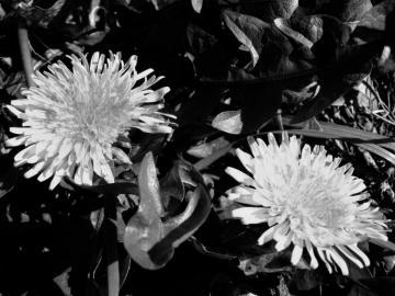 Dandelions Dandelion 6 Dandelion Gone To Seed Dandelions 3