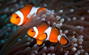 Clown Fish Wallpapers