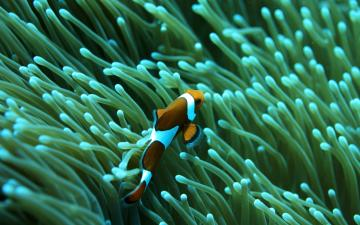 Clown Fish HD Background chillcovercom Underwater Clown Fish HD