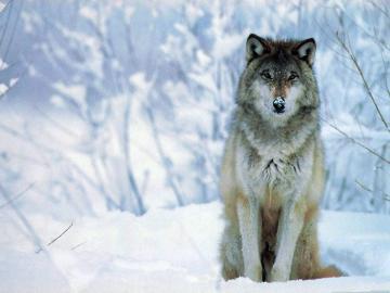 download wolf hd wallpaper widescreen For Desktop