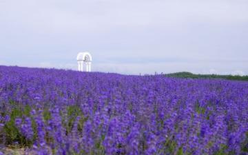 Download Lavender field wallpaper