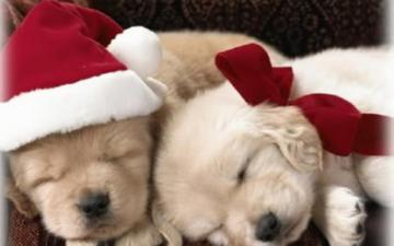 Christmas Puppy puppies 15897189 1280 800 Puppy Pics Online
