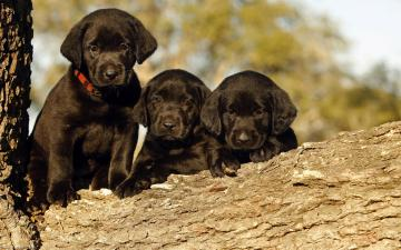 Black Labrador Puppy HD Wallpaper Download HD Wallpapers for Desktop
