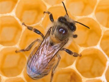 Honey Bee Honey Bee wallpaper Honey Bee picture Honey Bee photo