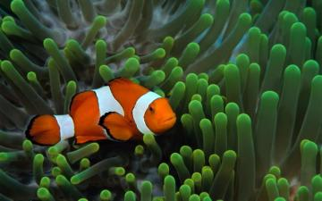 Fish Clownfish Underwater Widescreen