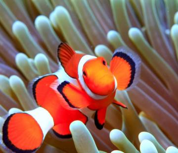 Desktop HD Wallpapers Downloads Clown Fish HD Wallpapers