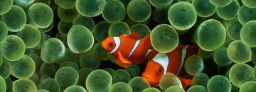 Wallpaper der Woche Clown Fish STE7130 Apple download