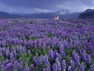 Download wallpaper Lavender Field