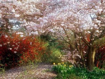 Nature Japanese Cherry Tree desktop wallpaper nr 16303