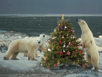 Polar Bears Wild About Christmas   Christmas Animals Wallpaper Image
