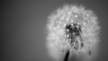 Wallpaper dandelion fluff seeds black and white HD