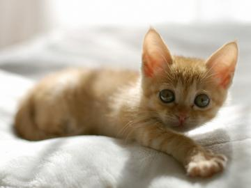 1600x1200 Cute Orange Kitten desktop PC and Mac wallpaper