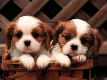 Cute Puppies Wallpapers Cute Puppy Wallpapers for Desktop