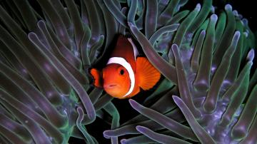 Clown Fish Anemon Wallpaper Itokaml   1366x768 iWallHD   Wallpaper HD