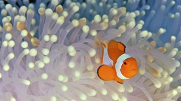 Clown Fish Desktop Wallpapers
