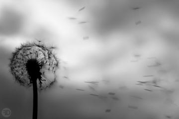 Dandelion Black And White Wallpaper Dandelion Black And White by