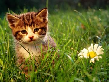 Screensavers Background Kitten Desktop Wallpapers For Desktop