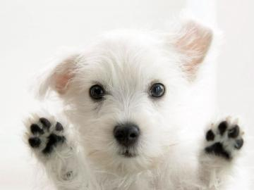 HD WALLPAPERS Puppy Dog HD Wallpapers