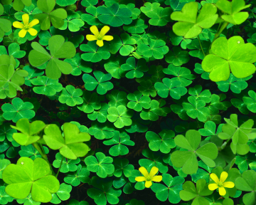 Clover Background Clover background done by