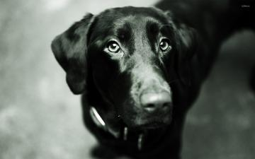 Black Lab Screensaver   zexibu55s soup