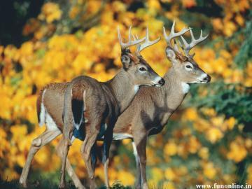 Deer Wallpapers Download Beautiful Deer Wallpapers for Desktop