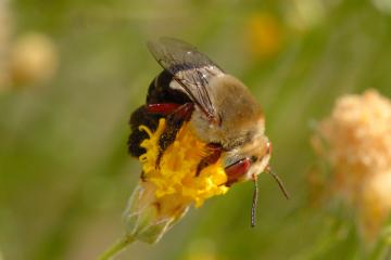 Bumble Bee Carpenter Bee Pictures