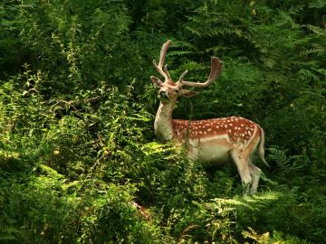 Beautiful Wallpapers For Desktop Deer wallpapers hd