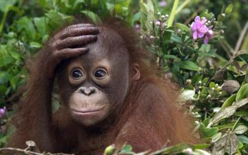 HD animals wallpaper of a cute orangutan baby HD monkeys wallpapers