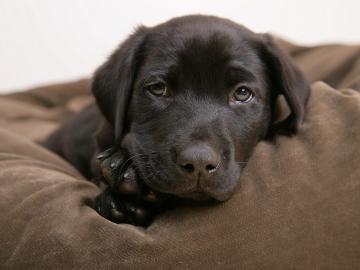 Little labrador   Puppies Wallpaper 14749010