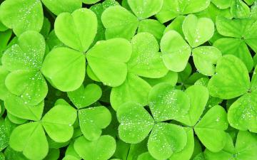 on Clovers Wallpaper Dew on Clovers iPhone Wallpaper Dew on Clovers