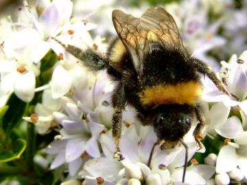 Bumble Bee Facts and Latest Photographs The Wildlife