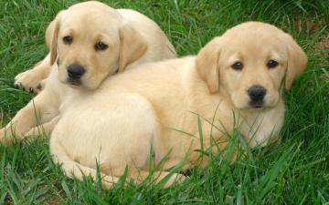 Labrador Retriever puppies Widescreen Wallpaper   12252