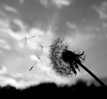Dandelion The Wanderers Thoughts