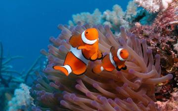 Wallpaper of two clown fish on the ocean floor HD animals wallpapers