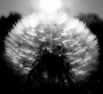 Dandelion Black And White Wallpaper Black And White Dandelion Download