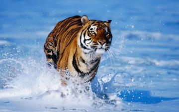 BEST WALLPAPERS Amazing Cute tiger wallpapers collections