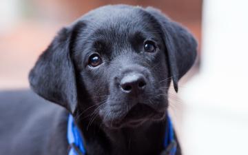 Cute puppy labrador retriever Mobile wallpaper most beautiful dog