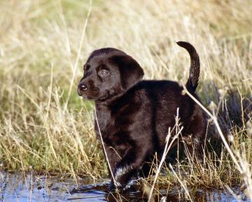 Black Lab Puppies Wallpaper