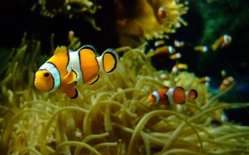 Clown Fish Wallpaper Amazing Wallpapers
