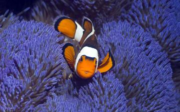 Clown Fish Wallpapers HD Wallpapers Early