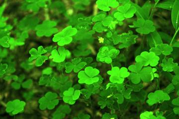 Clover Wallpaper wallpaper wallpaper hd background desktop