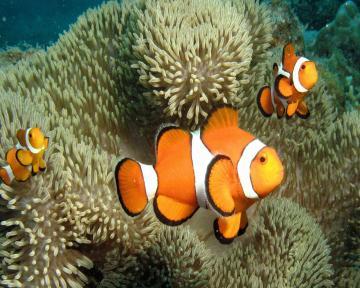Cute Clown Fish Wallpapers For Mac Fish Clown Megalodon Shark Mac
