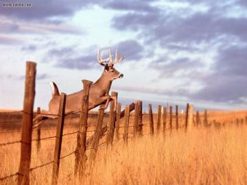 whitetail deer wallpaper Wallpaper and Screensaver