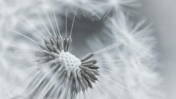 Wallpaper dandelion flower feathers seeds black and white