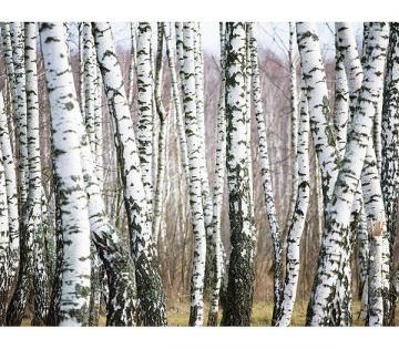 birch tree wallpaper Ximage file name irch tree