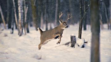 Wallpaper snow wood winter deer horn desktop wallpaper Animals